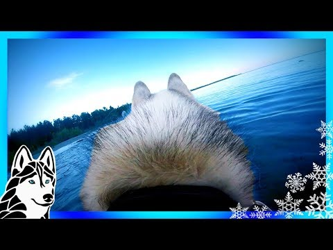 DOGS EYE VIEW SWIMMING HUSKY