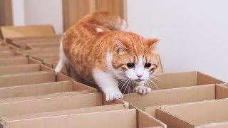主人用快递箱设路障,橘猫腿短爬不动,结果零食一放像个炮弹嗖一下射出!