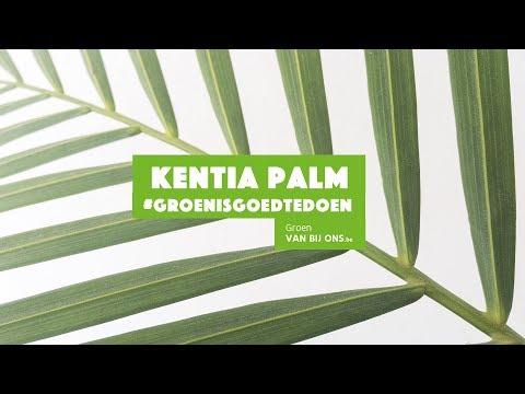 Kentia Palm - Groen is goed te doen! #7