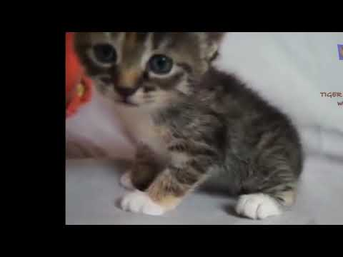 Compilation of Little kittens meowing and talking   Cute cat videos