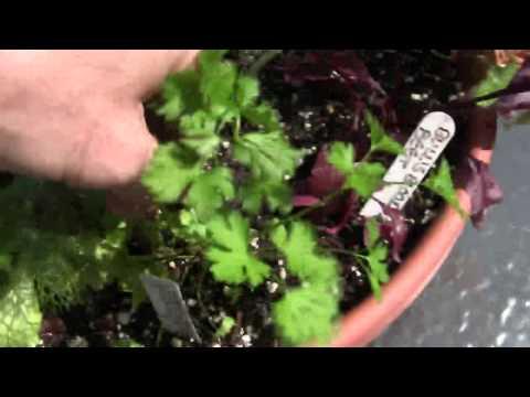 Locally Grown Organic Herb Salad