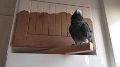 African Grey Parrots NAKKE.  Ajanvietettä.
