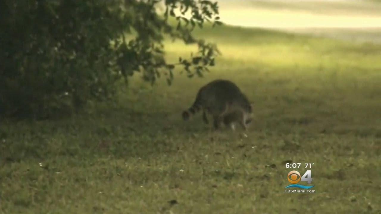 2nd Rabid Skunk in 3 Weeks Found in Allentown