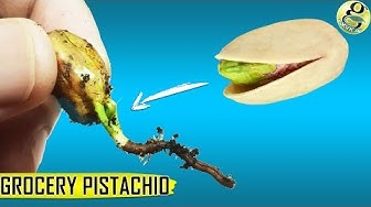 Grow Pistachio Tree From Grocery Pistachios   Seed Germination Results