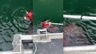 Bald eagle rescued from clutches of octopus