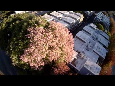 Ceiba speciosa (徳利木綿)