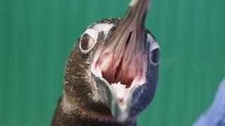 ペンギンの気管は舌の基部にあります。閉じたり開いたりしている様子が...