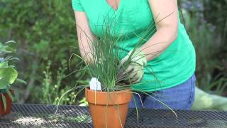 How to Harvest Onion Chives : Garden Space