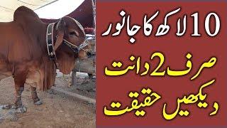 COW MANDI - QURBANI EID 2018 - BAKRA MANDI PAKISTAN VIDEOS - LAHORE SAGGIAN MANDI