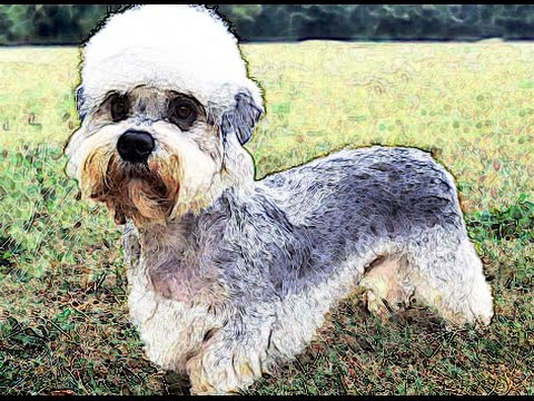 DANDIE DINMONT TERRIER Brief History breed dog lovers Dandie Dinmont Terrier facts origins