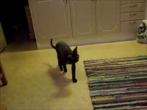 Tellus the Devon Rex - is looking for his invisible friend