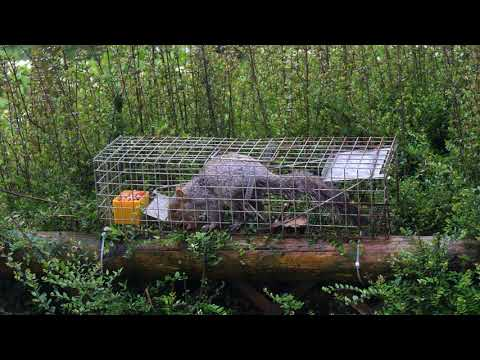 Eastern grey squirrel (Sciurus carolinensis) entering a humane trap, door shuts, Wales, UK