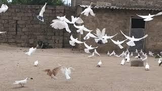 Бакинские голуби Исмаила в Баку