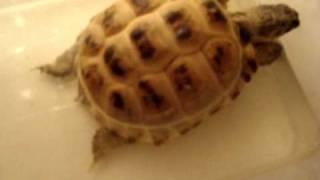 Среднеазиатская черепаха (Russian Tortoise)