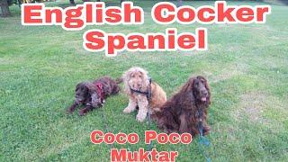 The English Cocker Spaniel Yolie Vlog