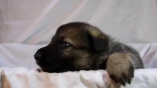 ジャーマンシェパードの子犬販売情報http://www.t-house-eco.com/index....