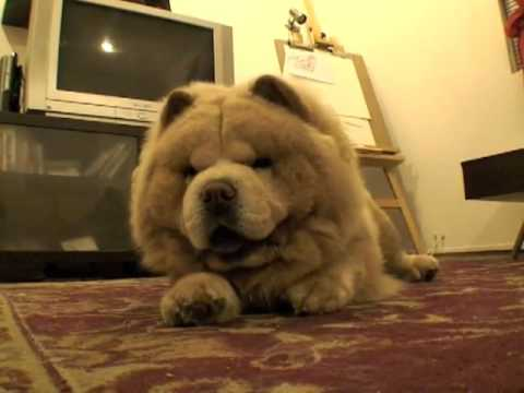 Mochi, the Dancing Chow Chow! * the CUTEST *