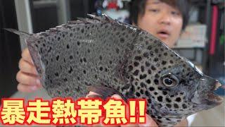 返り血の悪魔!!生きた暴走熱帯魚?をさばいて食べるよ!!【イシガキダイ】 thumbnail