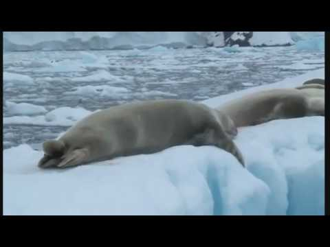 Mammals of the World: Crabeater Seal