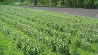 Aronia Plantage in Niedersachsen bei Hannover