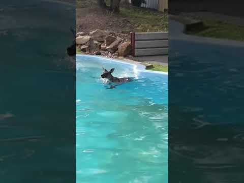 Fisher - Want To Swim With A Kangaroo? He's In The Pool!