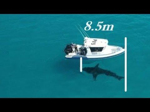 Massive Great White Shark Spotted In Western Australia.