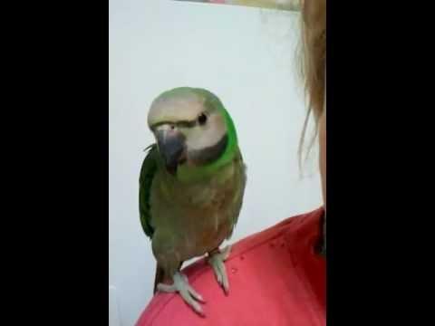 Hand Raised Moustache Parrot Information | Birdsville