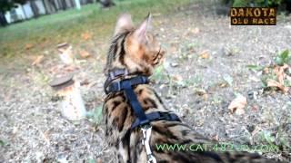 Как ведет себя бенгальская кошка в незнакомом месте на улице