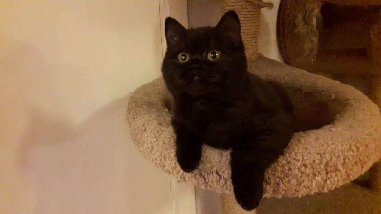 Британская чёрная кошка Астарта. Её отец Суприм Чемпиона Евросоюза .