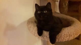 Черный британский кот Честер