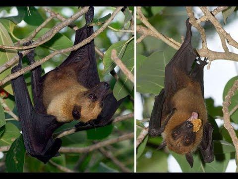 অজস্র চামচিকে আলিপুর চিড়িয়াখানায় Fruit bat (disambiguation)//Megabat//Alipur Zoo//kolkata