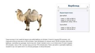Сколько весит верблюд