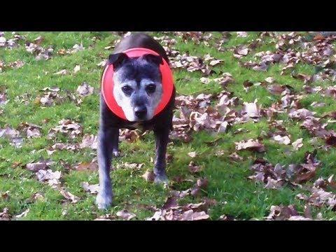 Staffordshire Bull Terrier Babe Marvelous  Mallie.
