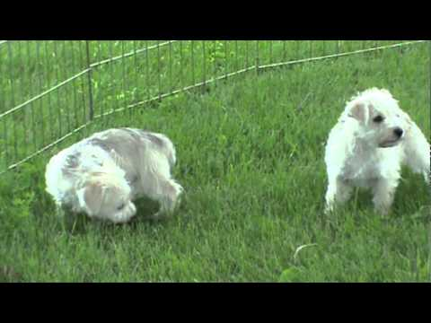 Schnauzer Poodle Mix Puppies For
