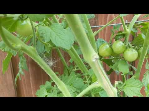 Look at these Tomatoes.. This is what indeterminate looks like