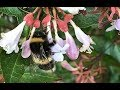 Bees Pollinating Flowers of Abelia Grandiflora  ||| A Beautiful Natural Act