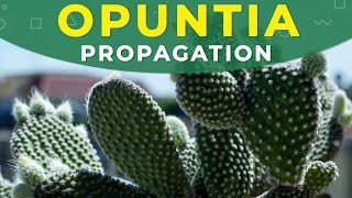 How to grow Opuntia cactus? | Prickly pear from seeds