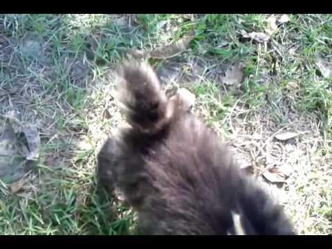 Bobtail Manx Kitten and Black Brother (Bobcat Hybrid)