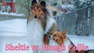 Sheltie vs. Rough Collie