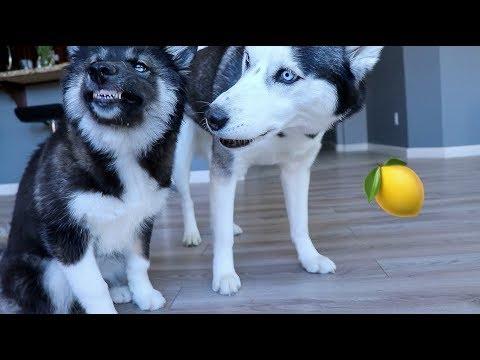 My Huskies FUNNY Reaction To Lemons