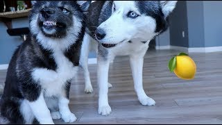 hilarious huskies. try not to laugh