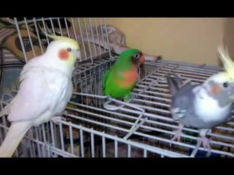 Cockatiel Beat Boxing My Amazing Bird