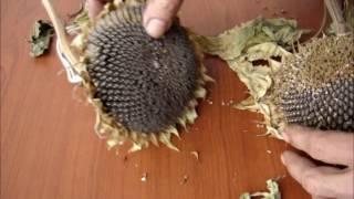 Как выбрать семена подсолнуха(, 2016-05-12T06:28:03.000Z)