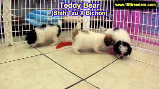 Teddy Bear, Puppies, For, Sale, In, Minneapolis, Minnesota, Mn, Inver Grove Heights, Roseville, Cott