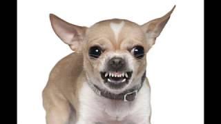 "Jay Hickman - ""Fear of Chihuahuas"""