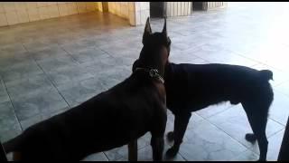 Briga Entre Dobermann E Rottweiler