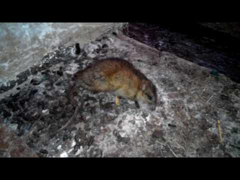 Как бороться с крысой в квартире