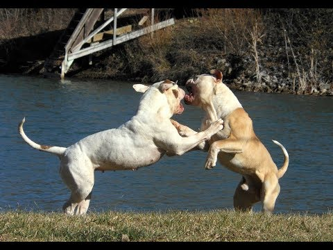 American Bulldog - Powerful Bull Breeds