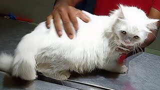 Pyometra operation in persian Cat, surgical repair of pyometra in persian Cat