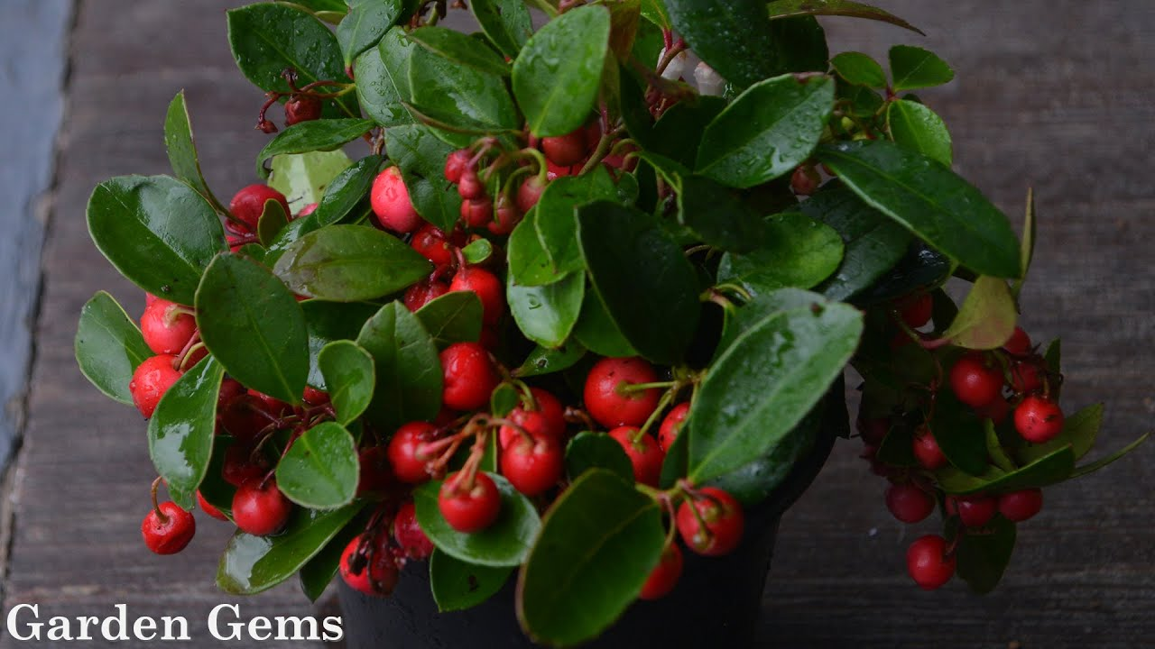 Gaultheria procumbens (Wintergreen) - YouTube